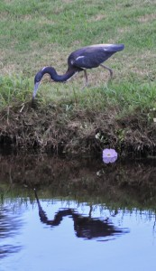 Wareham, Mass.:  Heron hunting, July 2009