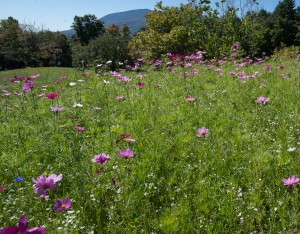 E. Dorset, VT:  Wildflowers & Mt. Equinox  9/19/13