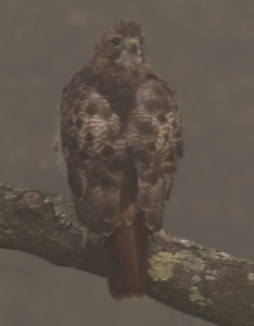 E. Dorset, VT:  Red Tail Hawk looks over its back, through fog, for prey  9/2513