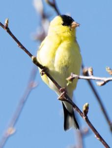 Gold Finch in budding Cherry Tree, E. Dorset, VT  5/7/14