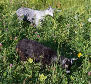 E. Dorset, VT:  Pygmy goats deep in new browse 6/30/14