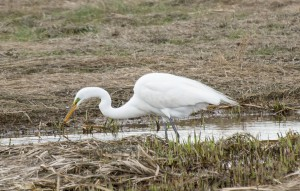 Plum Island, MA:  Great Egret 5/4/15