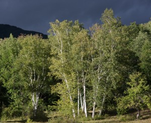 E. Dorset, VT: Birches after thunderstorm 9/16/15