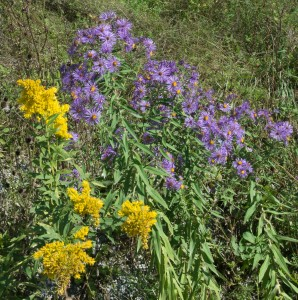 E. Dorset, VT: Early fall wildflowers 9/16/15